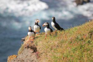 птичьи скалы вестманна фареры