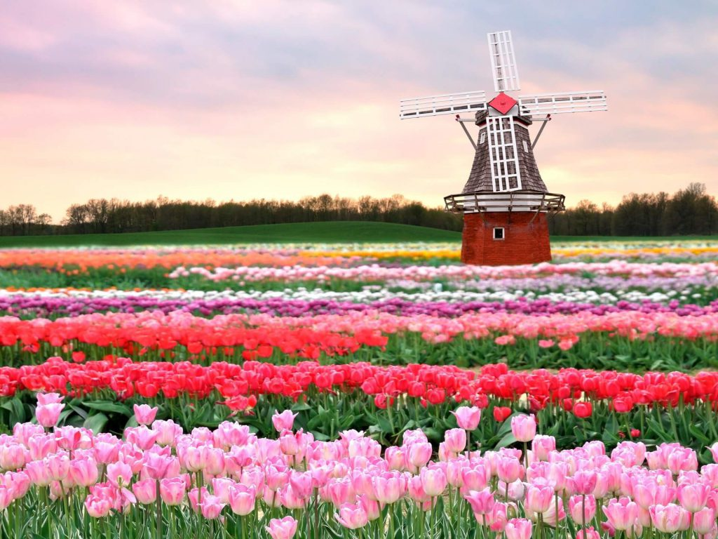 голландия мельница и тюльпаны