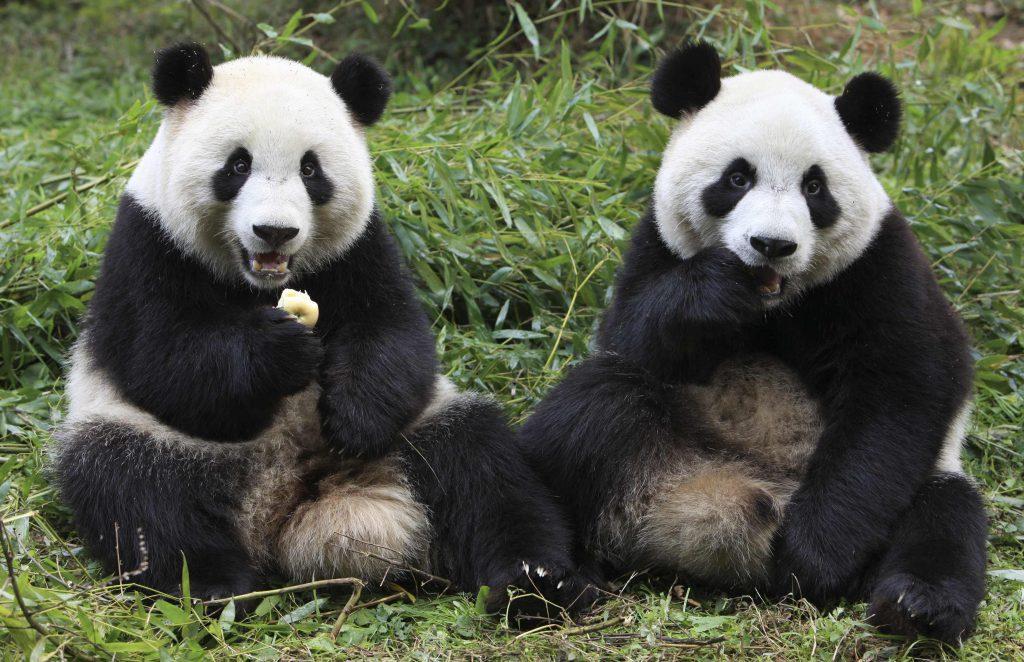 Китай, город Ченду панды