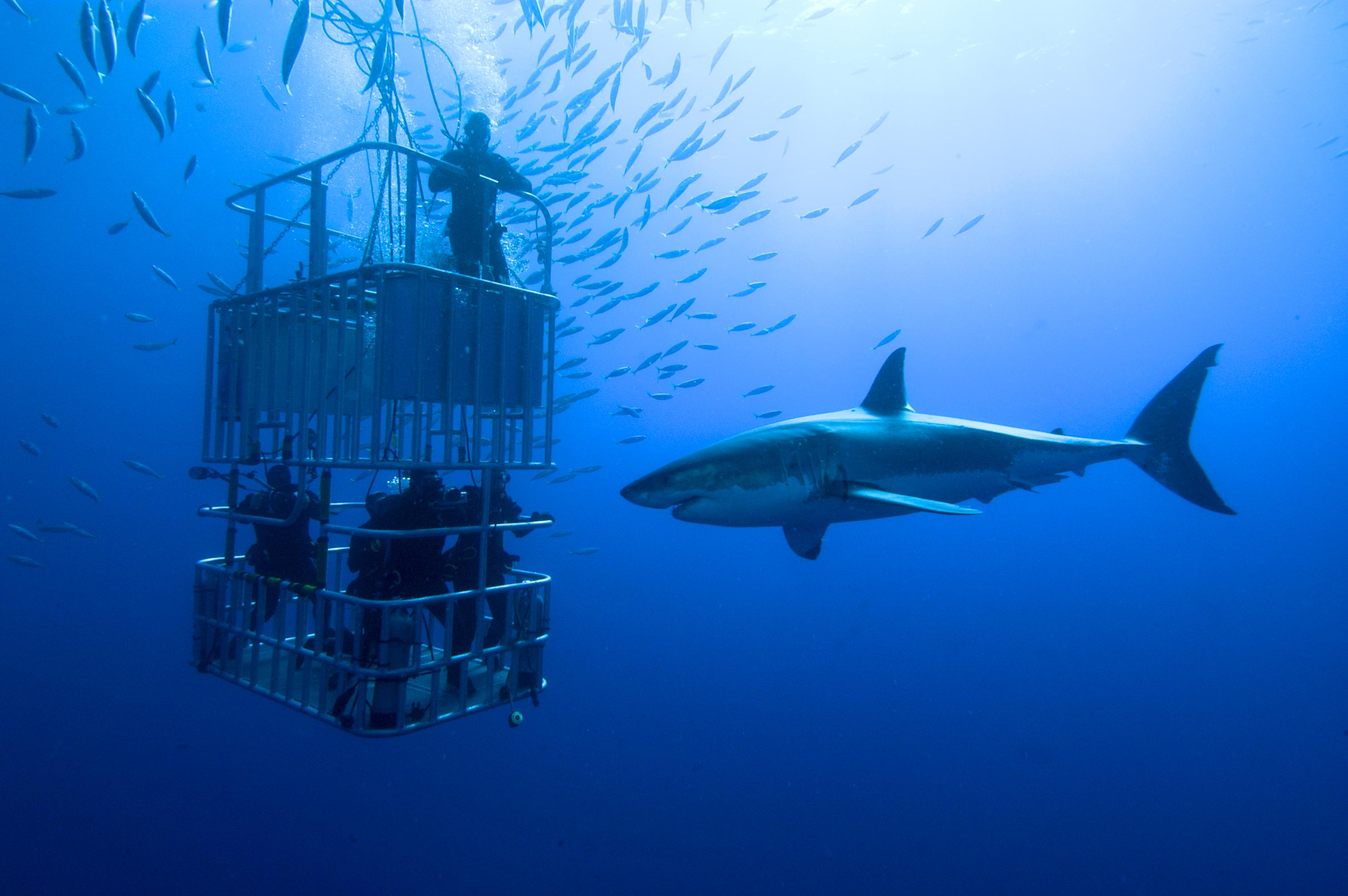 Австралия плавать с акулами развлечения мира