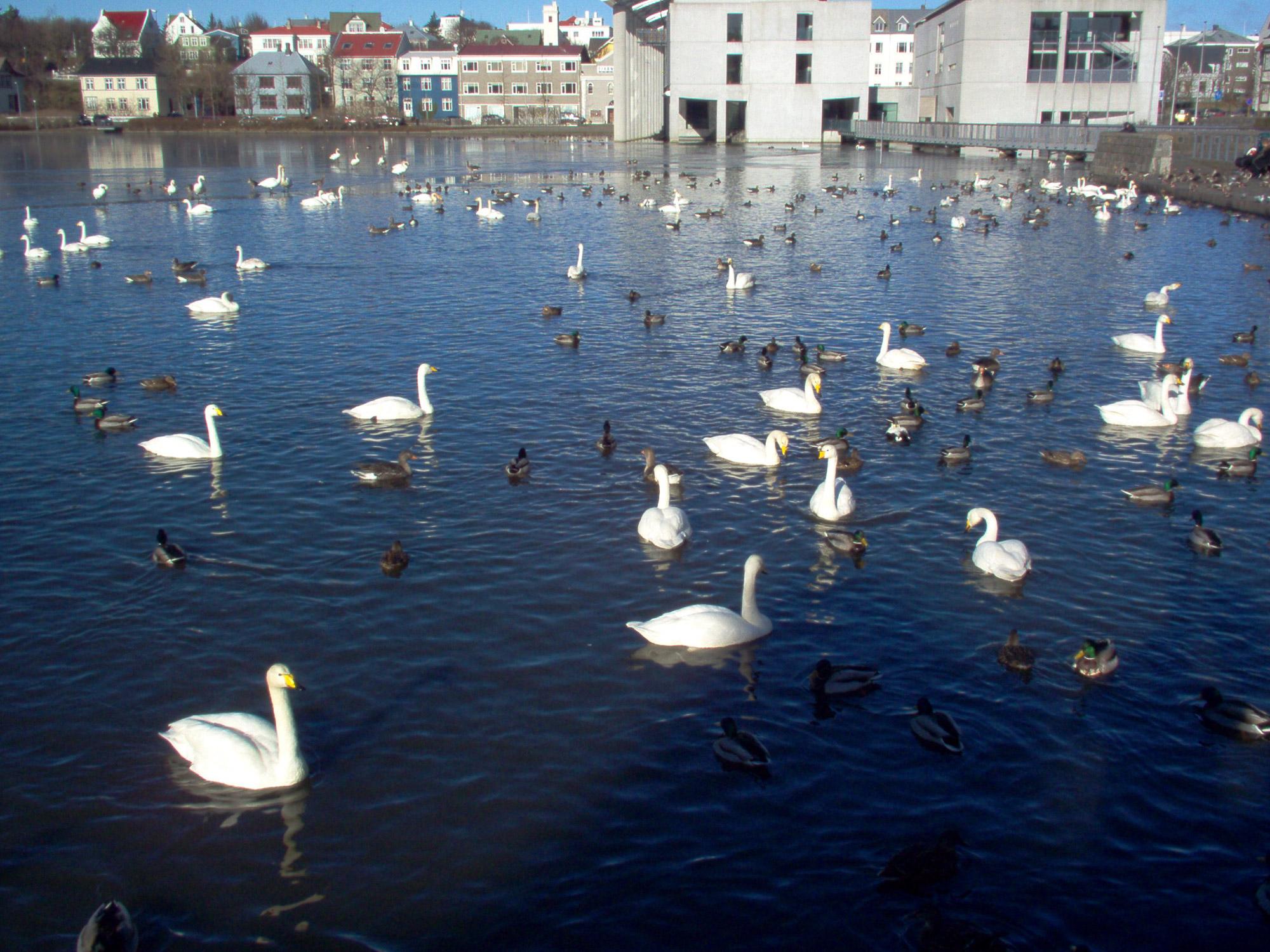 птицы Фарерские острова