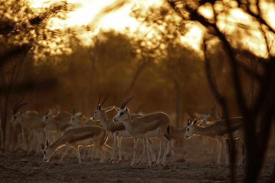 Арабский парк дикой природы на острове Сир-Бани-Яс