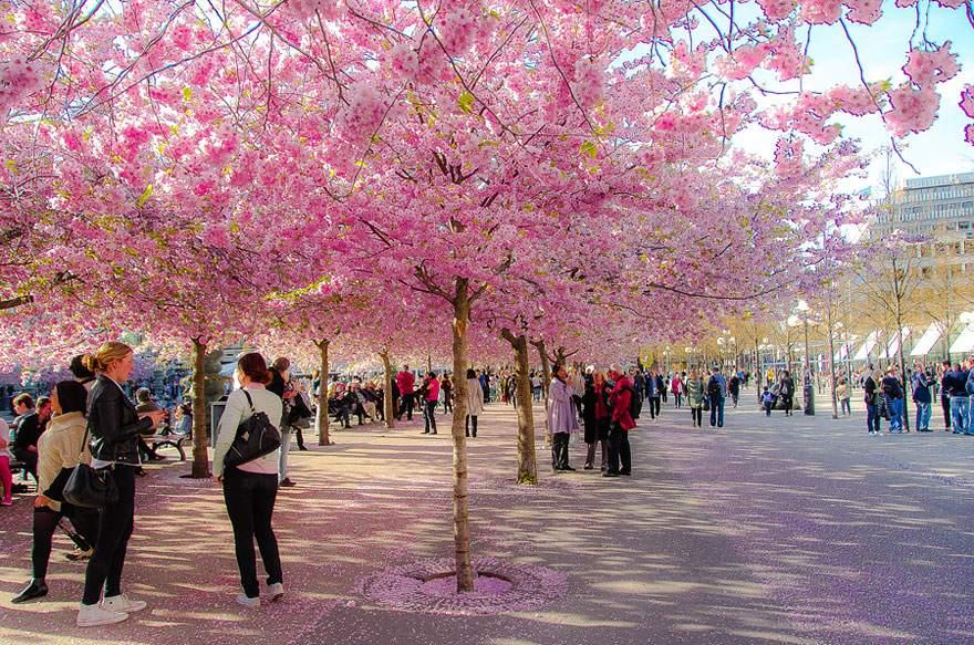 сакура Япония, отпуск в апреле