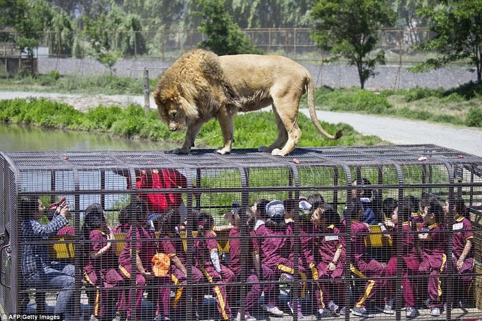 В этом зоопарке посетители в клетках! Животные гуляют на свободе 1