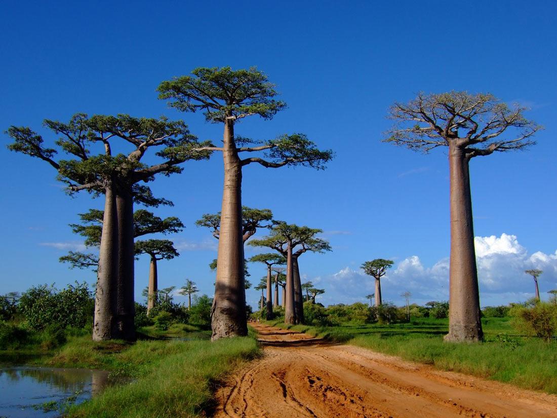 1 Леса с гигантскими деревьями.