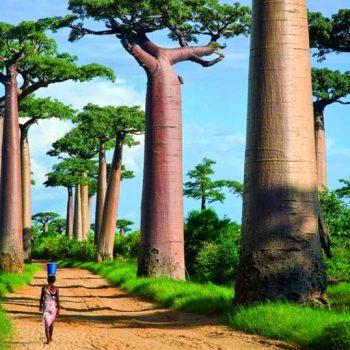 Аллея баобабов (Мадагаскар)
