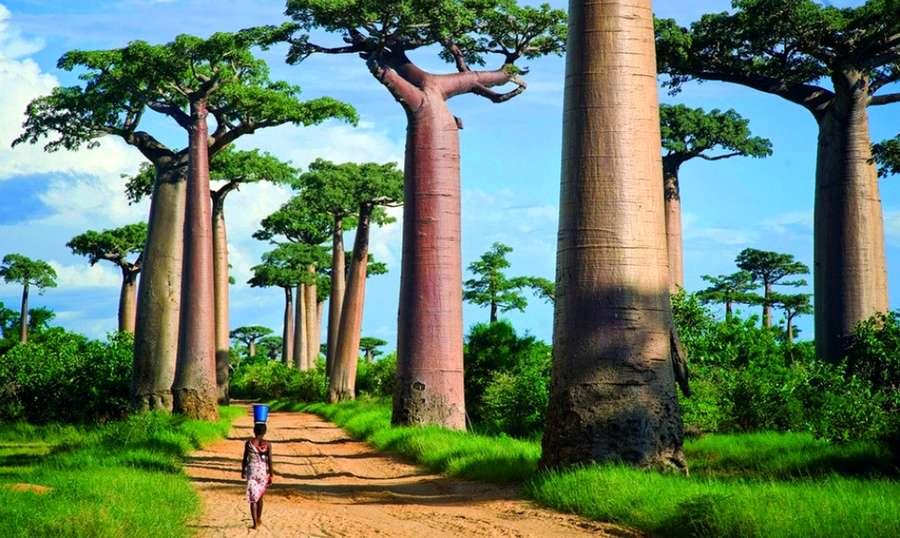 Леса с гигантскими деревьями.